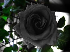 Halfeti-black-roses